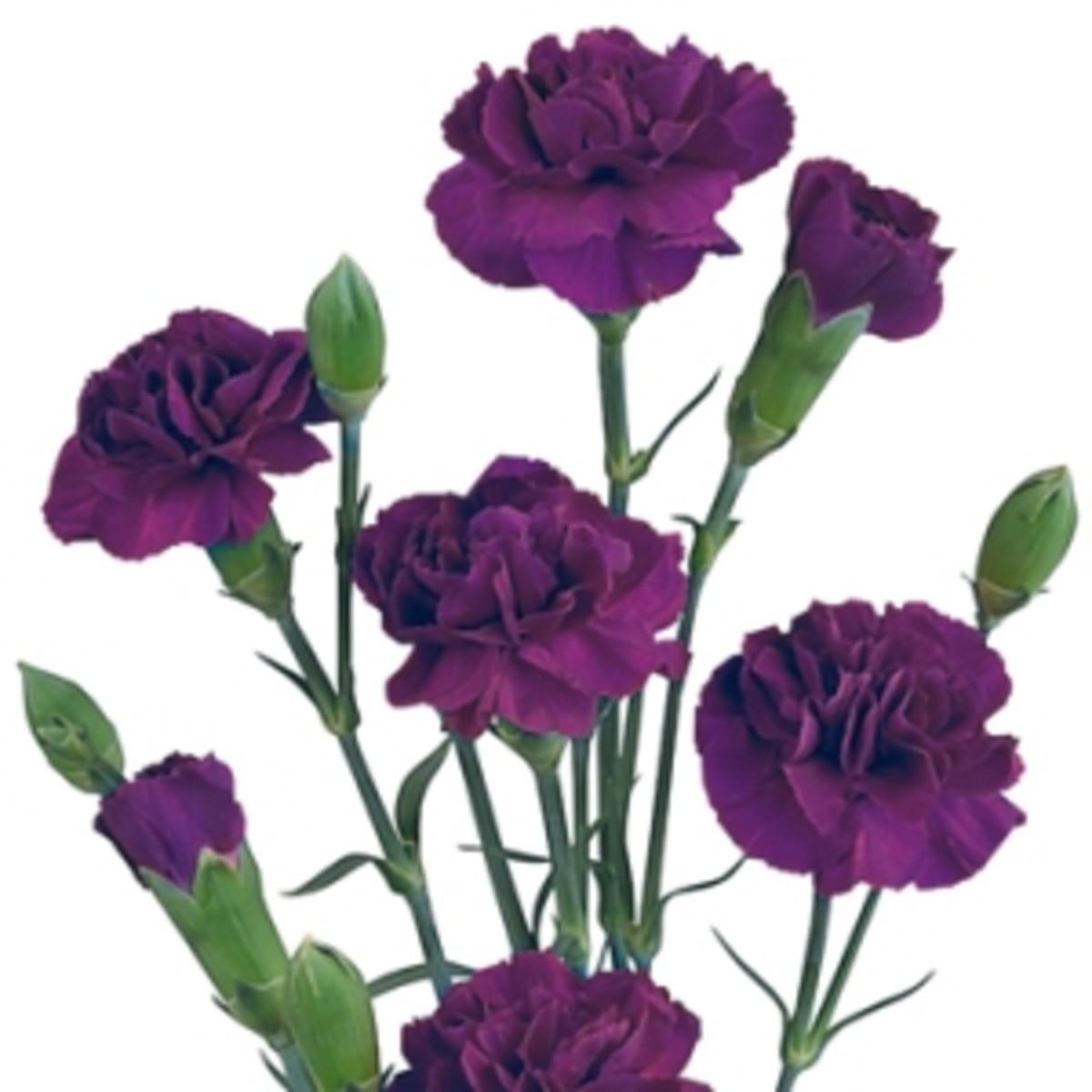the pink carnation - Carnation Flower Colors