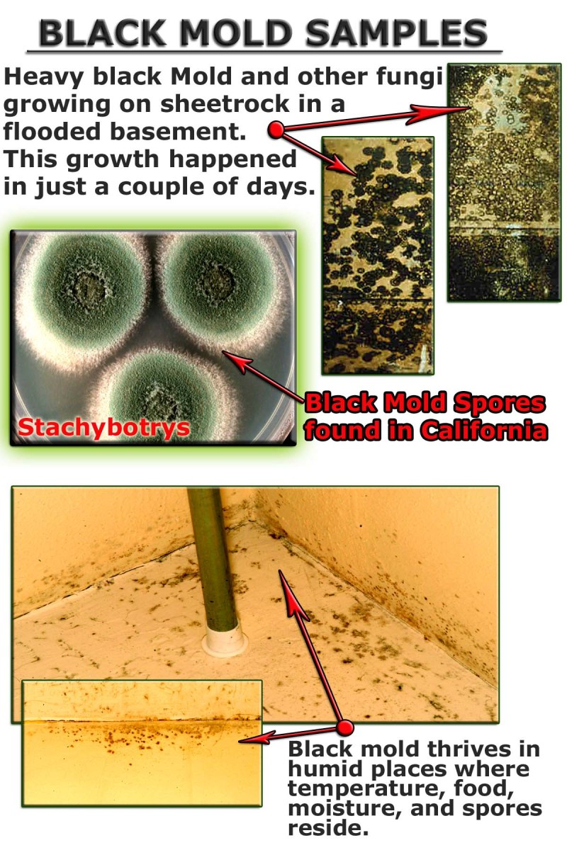 Black Toxic Mold is found in moist humid places where almost any organic material provides a food source.