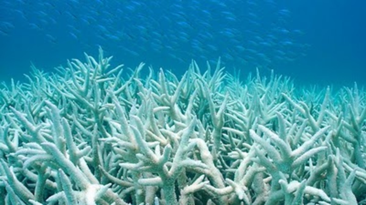 Bleached staghorn corals
