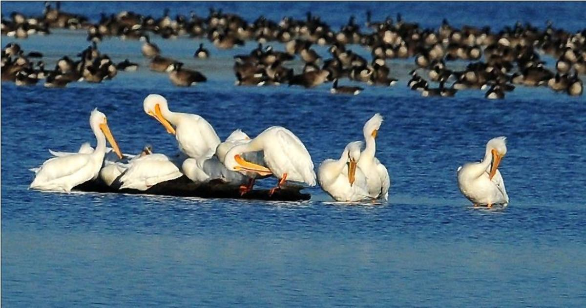 American White Pelicans Establish Breeding Community on Maryland's Eastern Shore