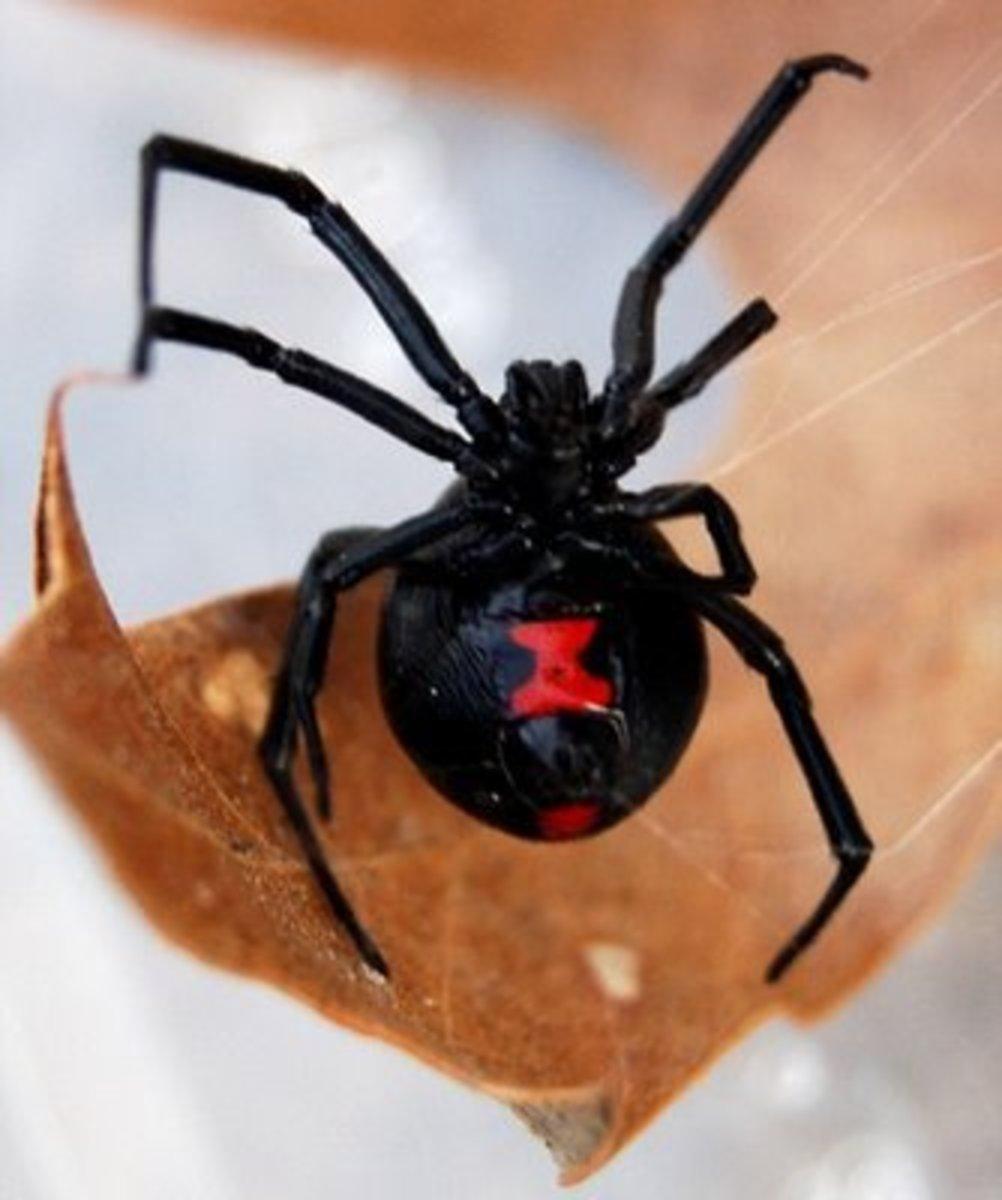How to Identify a Black Widow Spider