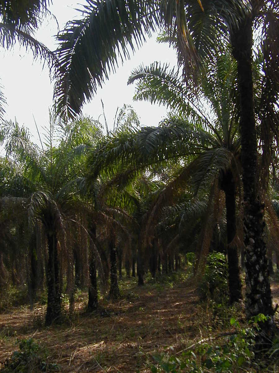 Obafemi Awolowo University Palm farm