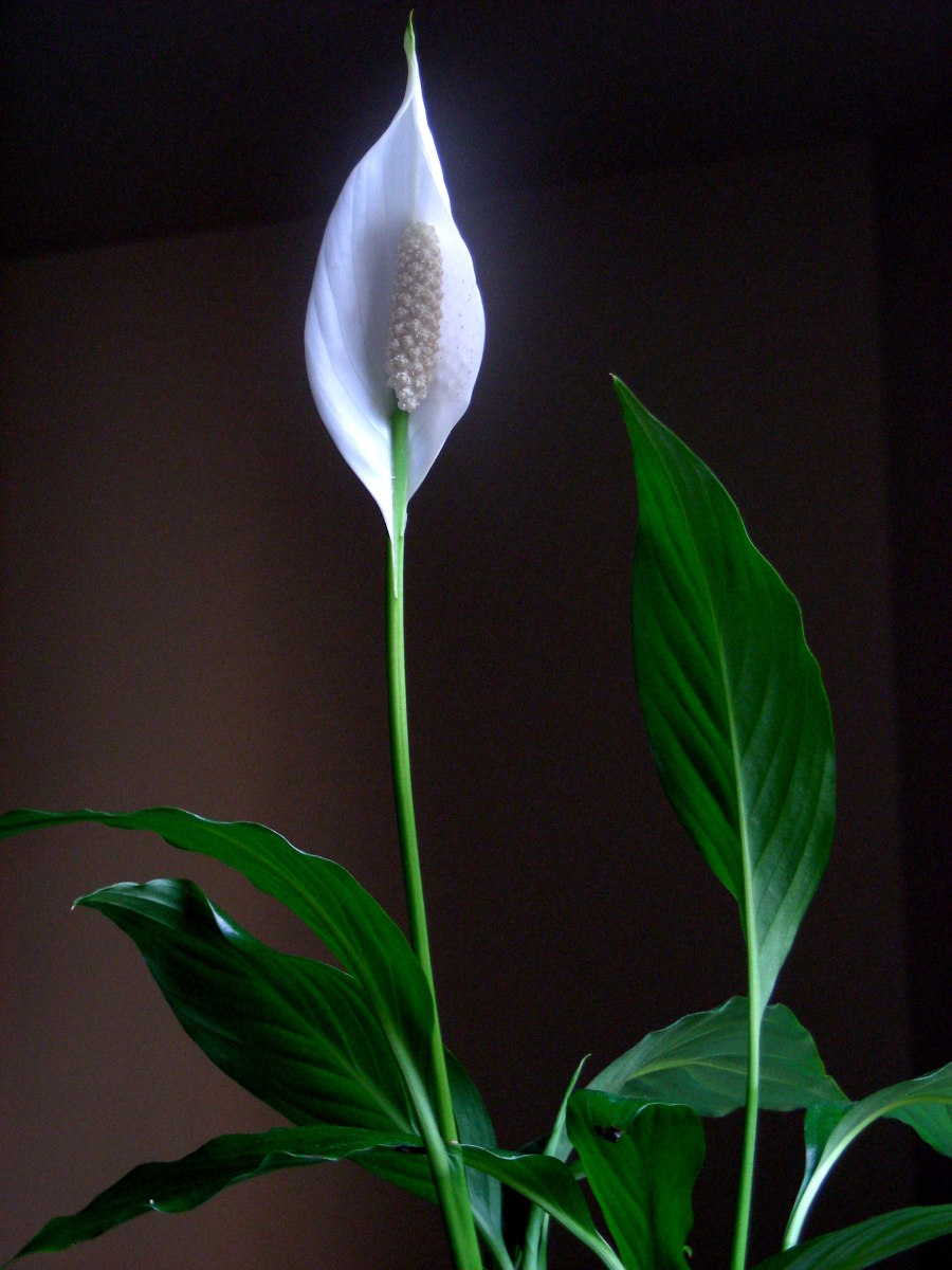 the-abcs-of-caring-for-peace-lilies