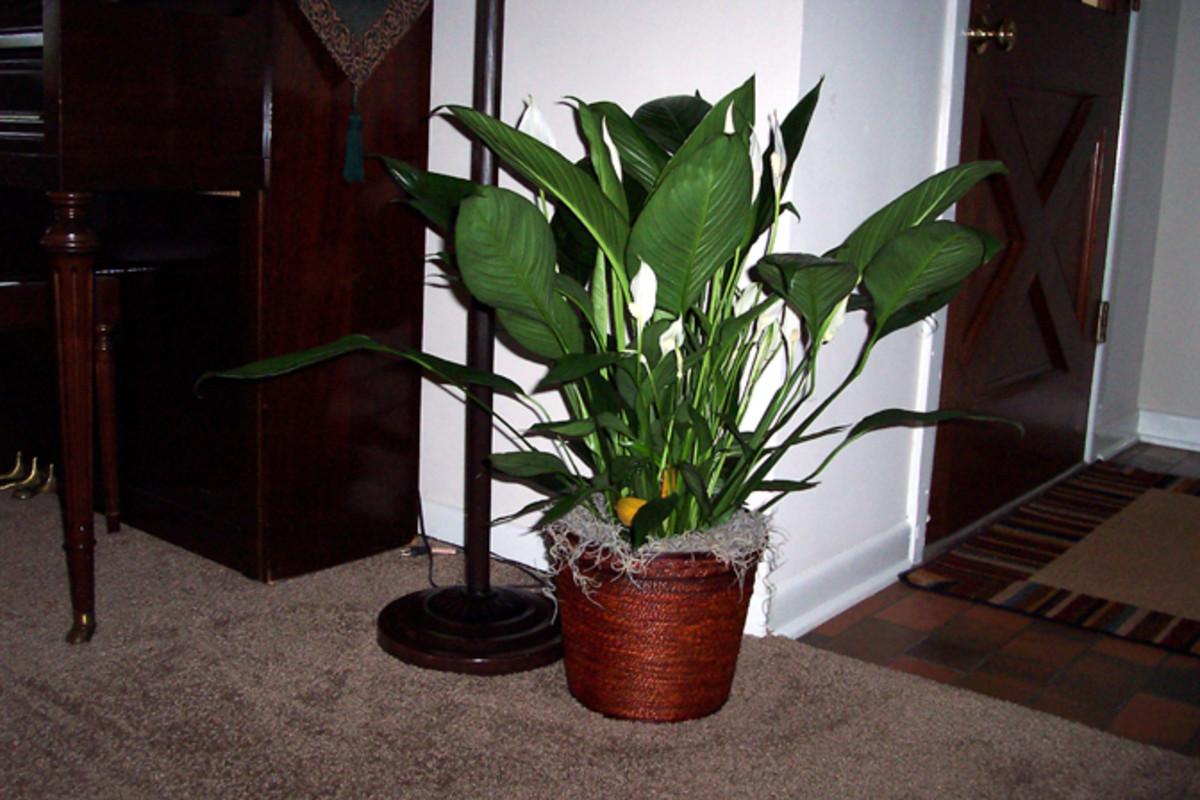 "Note the lack of ""droop"" in the leaves of this healthy peace lily."