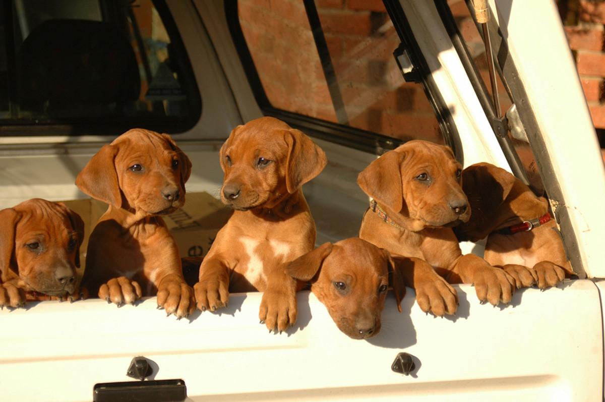 Adorable Rhodesian Ridgeback Pups!