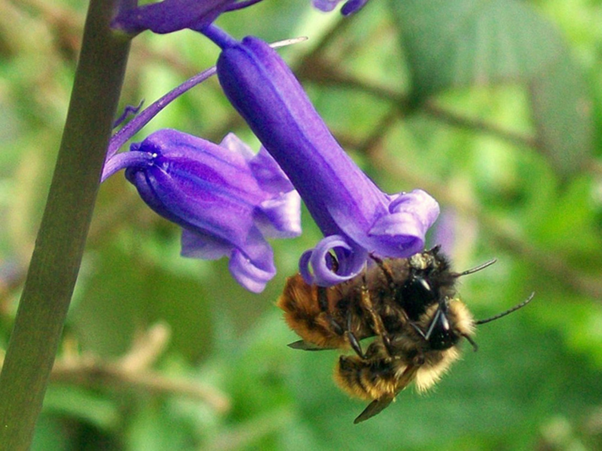 Bees on a Bluebell