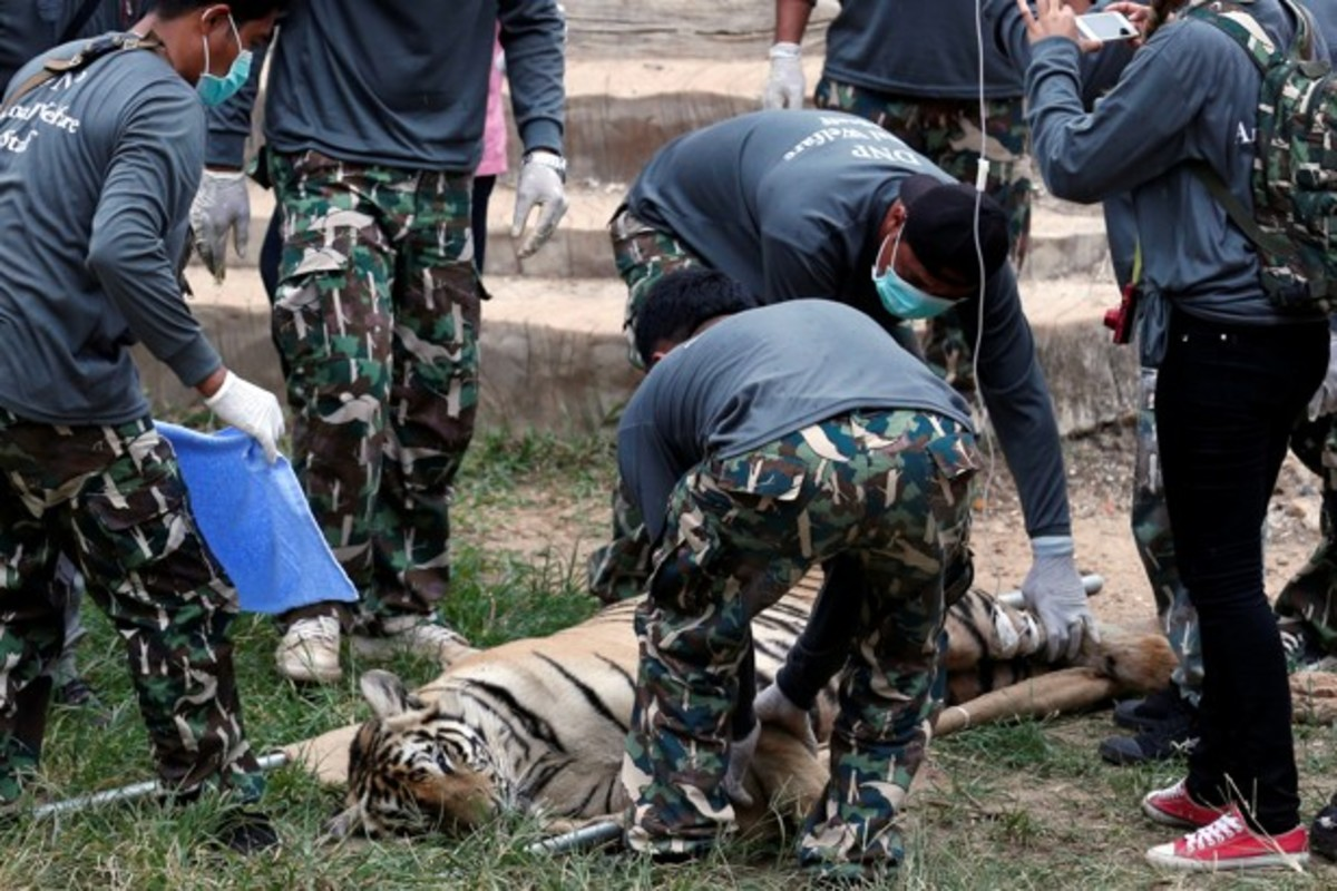 A sedated tiger is placed on a stretcher as officials start removing tigers from Thailand's controversial temple in Kanchanaburi province on May 30, 2016