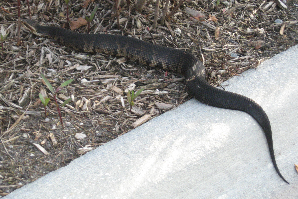 This one caught my eye. He was crossing the street and really stood out. Once it was on the mulch, it was harder to see this poisonous snake. Read more about dealing with a snake in your yard.