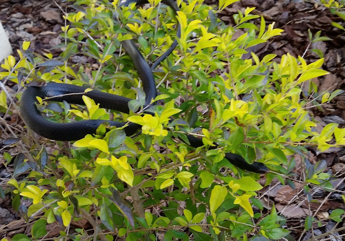 I was dismayed to spot this snake in the bushes by my front walk. Recognizing it as a black racer, I calmed down. They are non-poisonous. I've heard that it's beneficial to have one of these as they will defend their territory from other snakes.