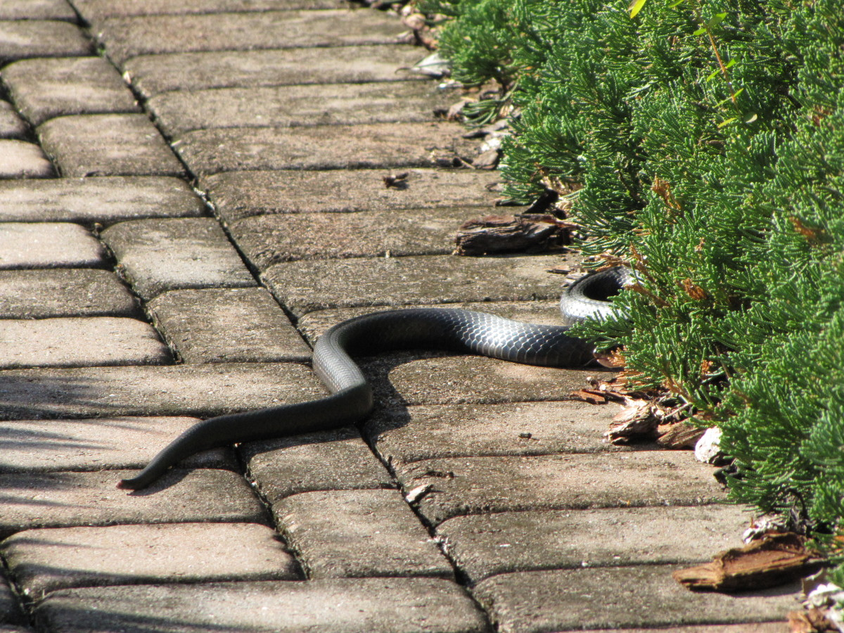how to get rid of poisonous snakes