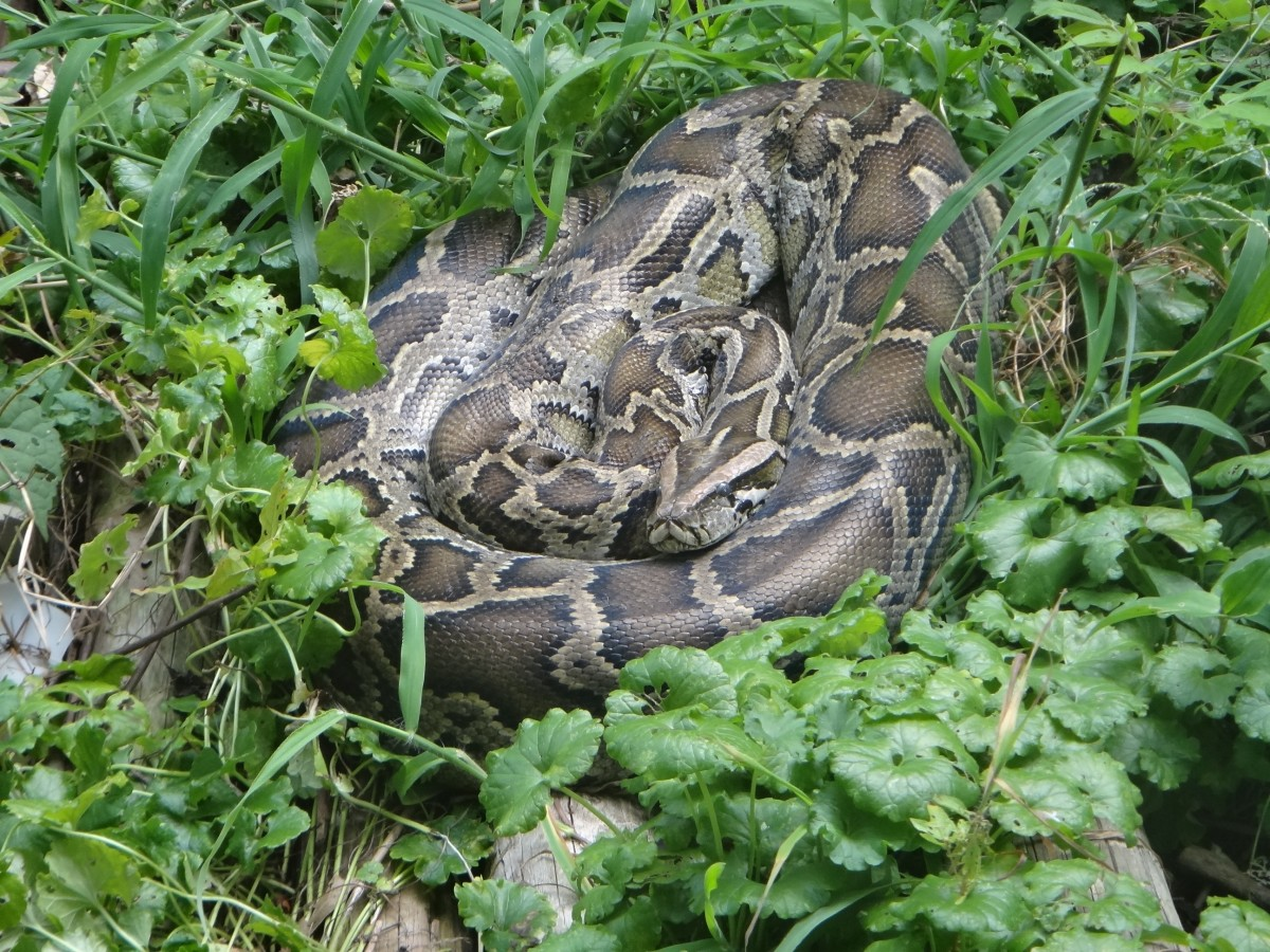 The boa constrictor found in a Maryland yard.