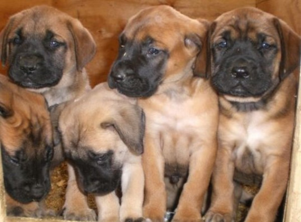 All About English Mastiffs Puppies