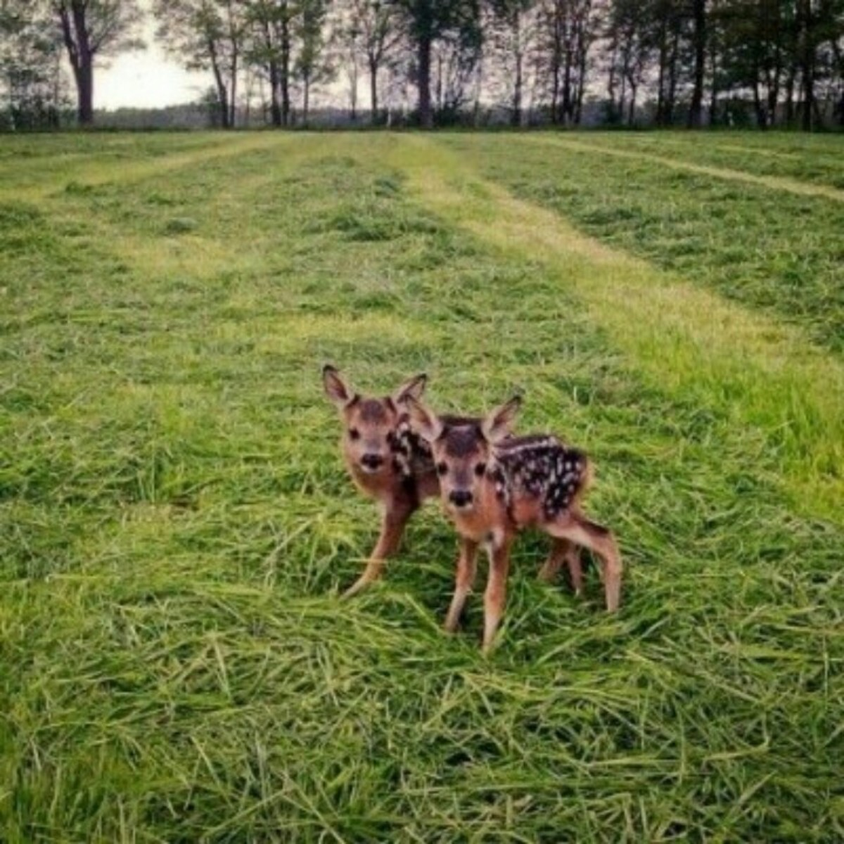 Cute Baby Fawns