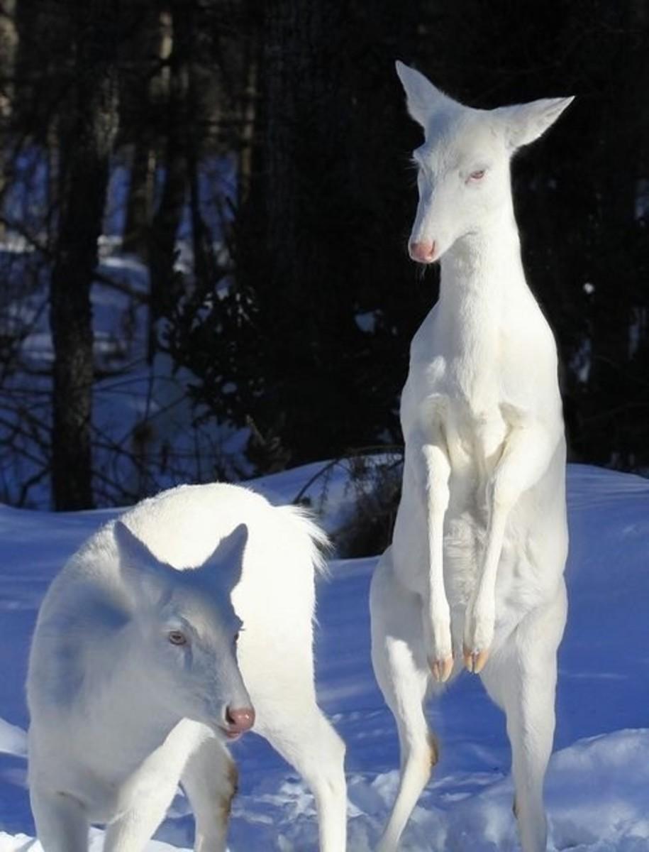 Albino Deer In New York