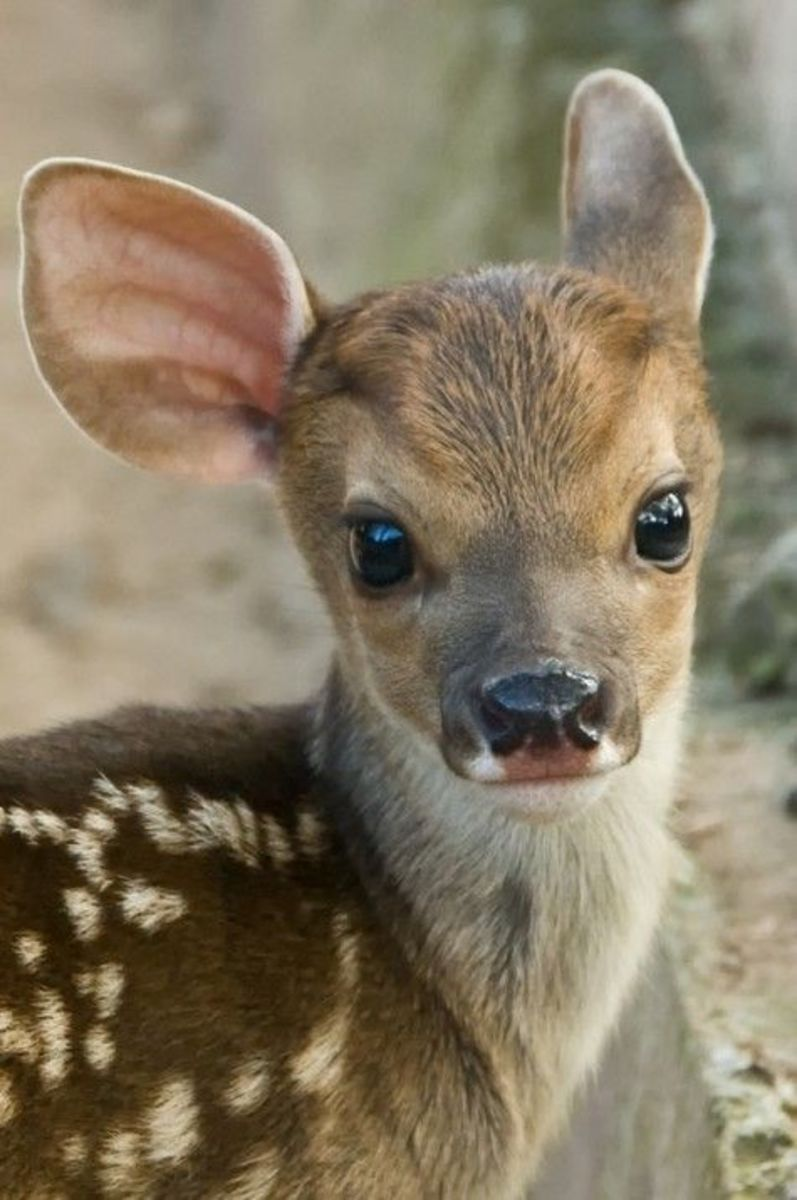 Fawn White Tail Deer