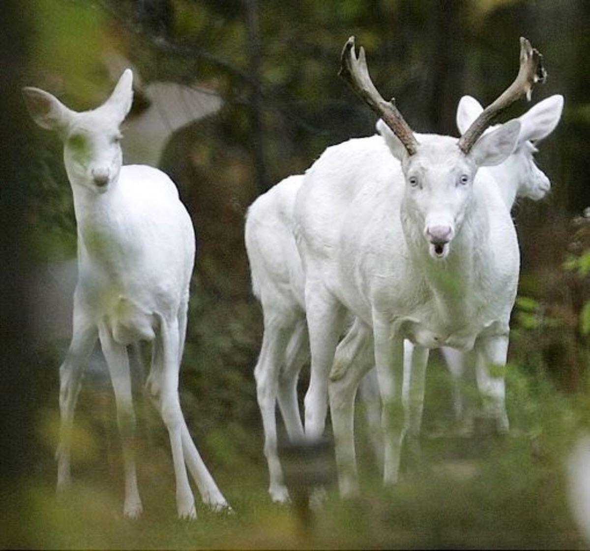 White Albino Deer In Upstate New York