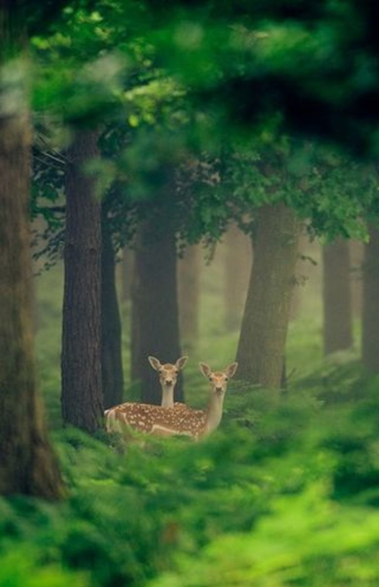 Spotted Fawn Deer hiding in the woods