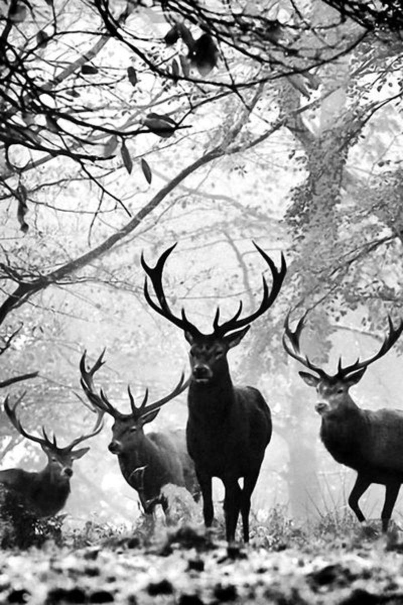 Big Beautiful White Tail Deer