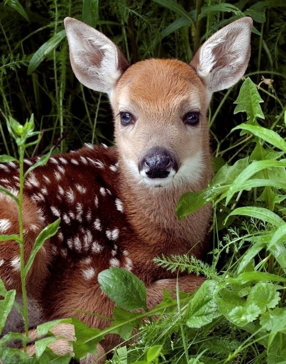Cute Spotted White Tail Fawn. Some day he will be a big buck.