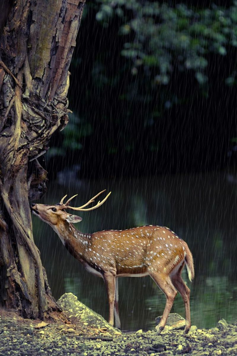 Beautiful Spotted Deer