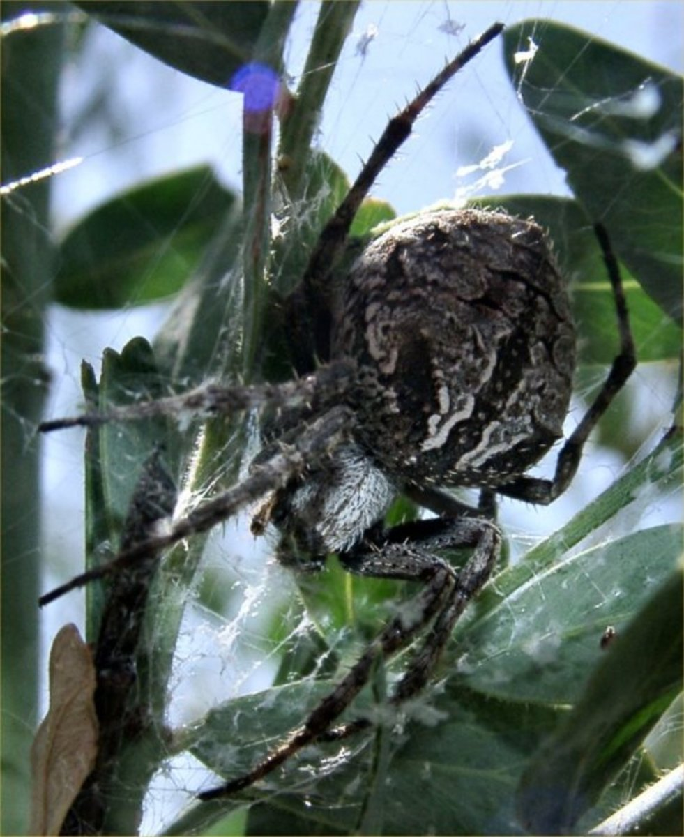Common Garden Spider Australia