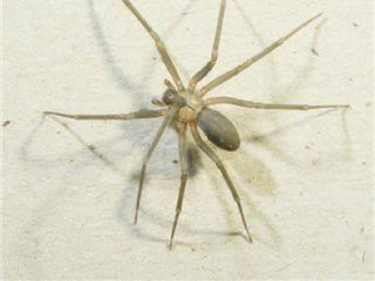 The Armadeira Spider