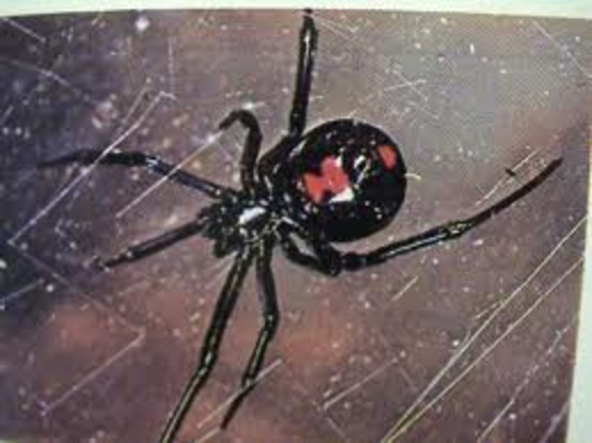 The Infamous Black Widow Spider