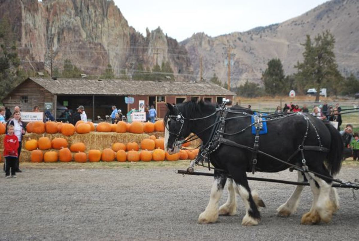 Clydesdale horses pull wagons at the Central Oregon Pumpkin Co. (c) Stephanie Hicks