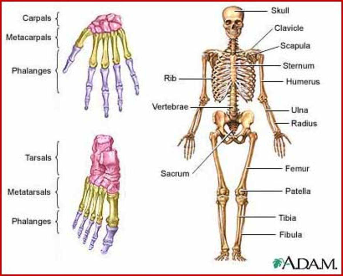 what are the three types of skeletons? | hubpages, Skeleton