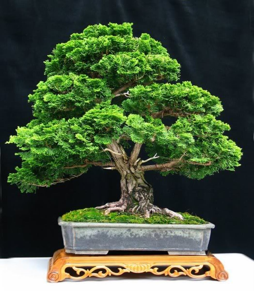 Bonsai Trees For Sale