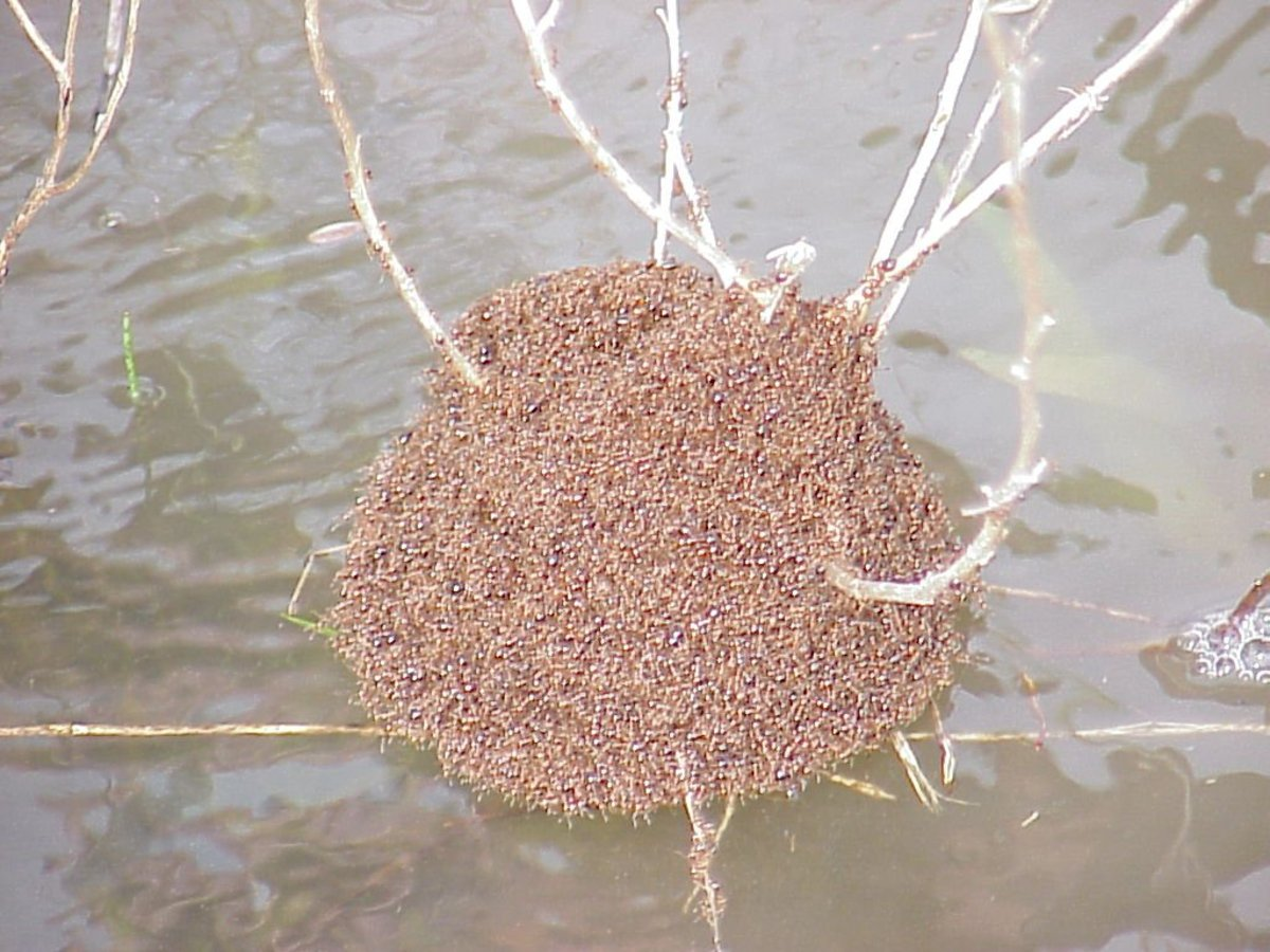 A floating Fire Ant nest
