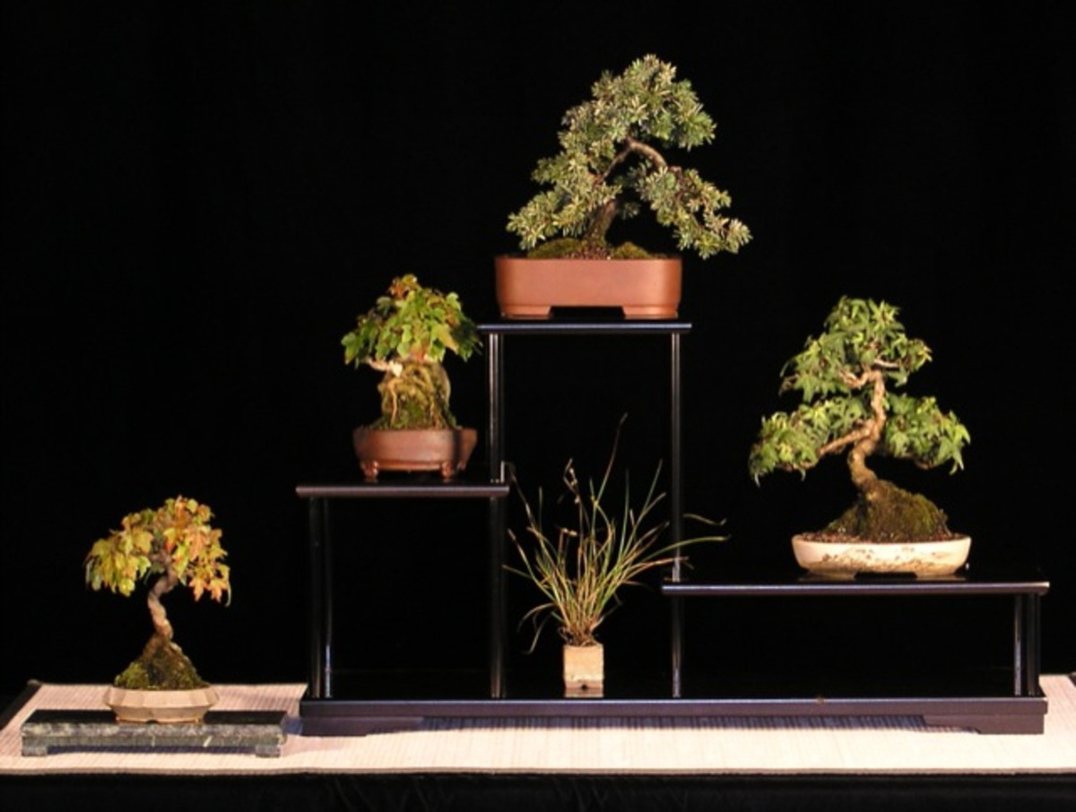 Displaying indoor bonsai