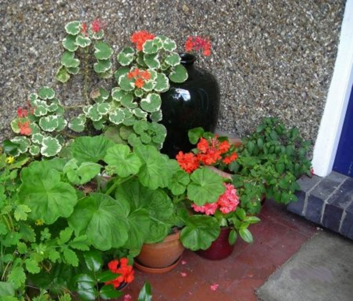 Geraniums in the Porch