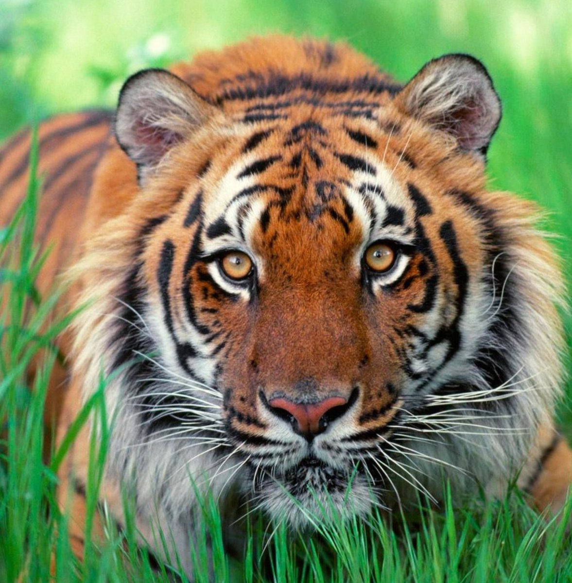 Tigers in Texas | HubPages