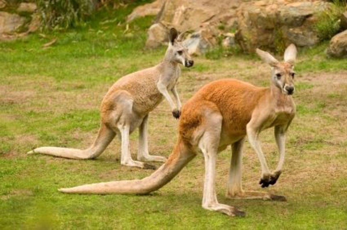 Big red kangaroos