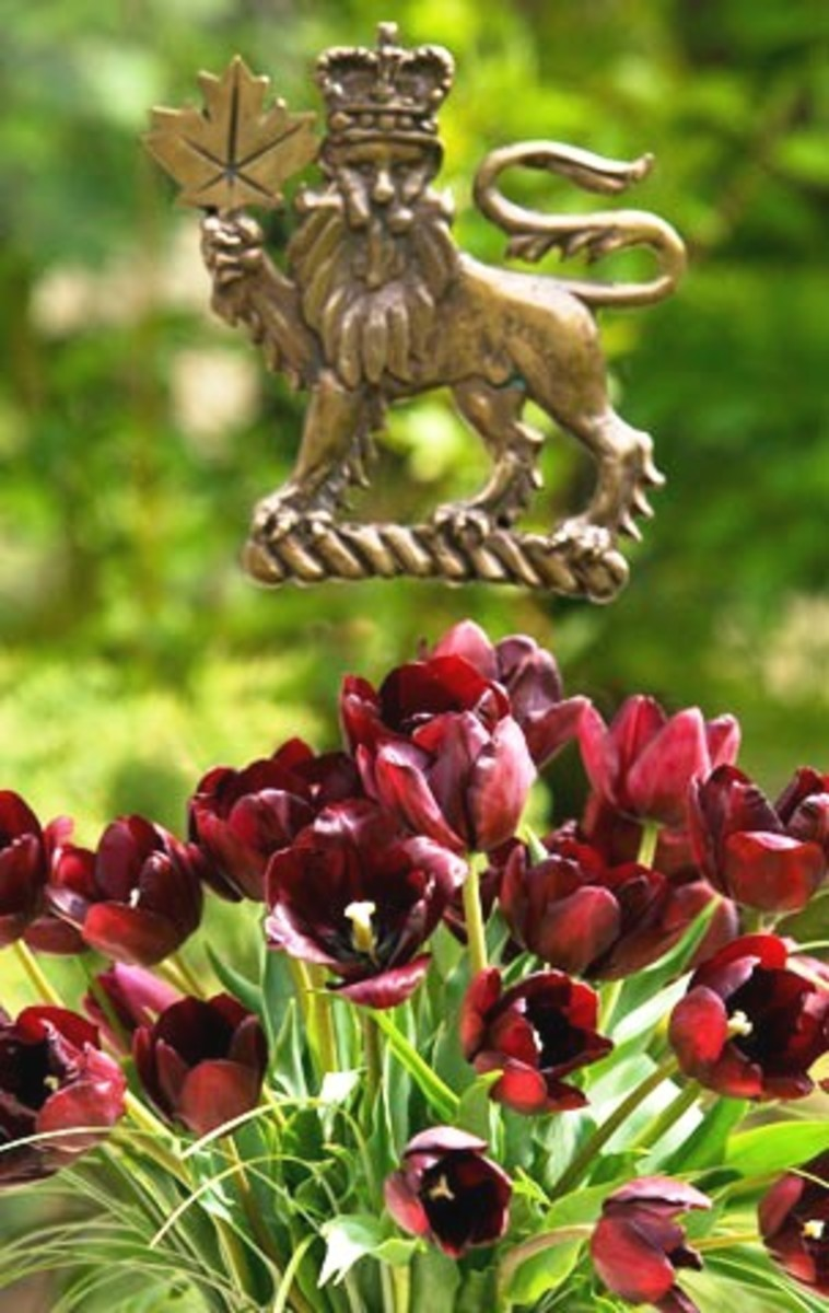 The Michaelle Jean Tulip