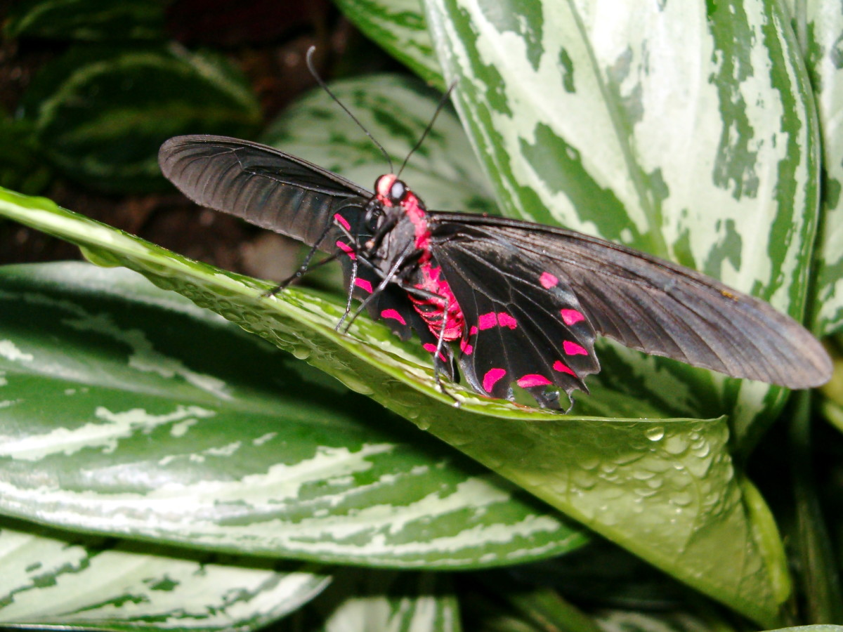 You can see the bright red markings on this butterfly.  I think they are just beautiful.