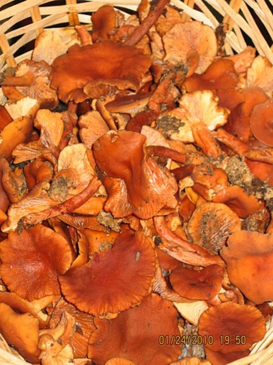 Candy Cap Mushrooms (Lactarius rubidus)
