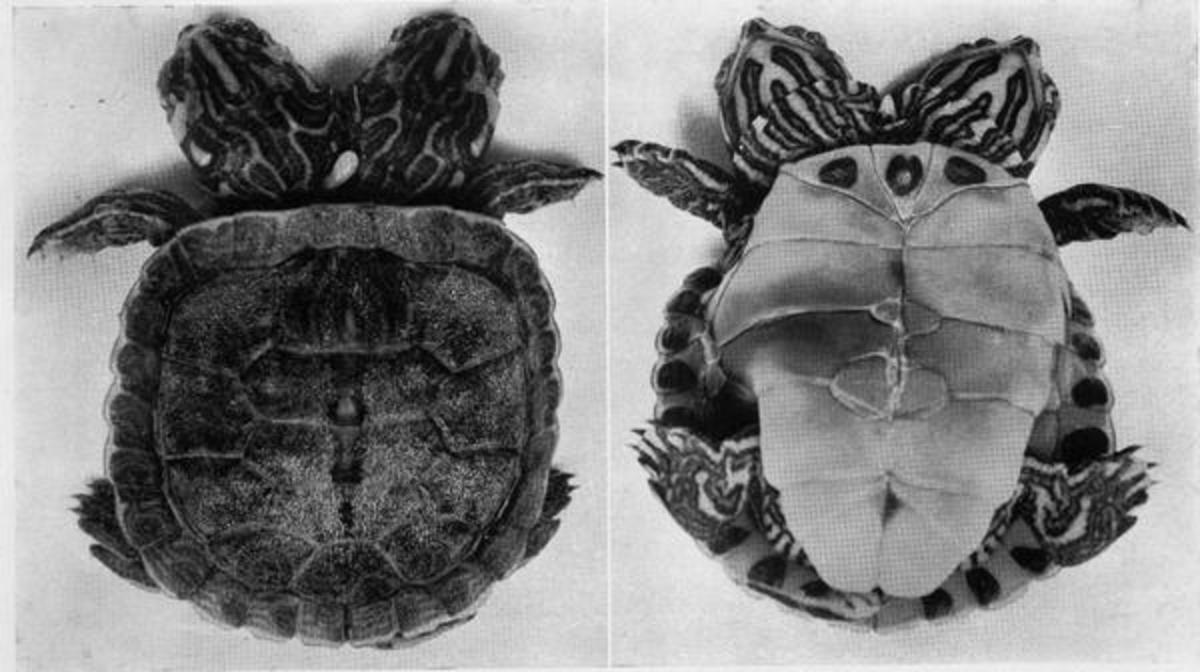 Conjoined twins in turtles from Hildebrand: Journal of Heredity 29:243, 1938
