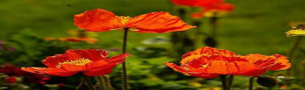 Opium Poppy.