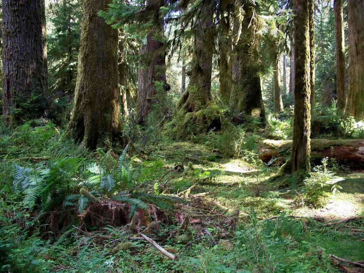 Rain forest Olympic National Park.