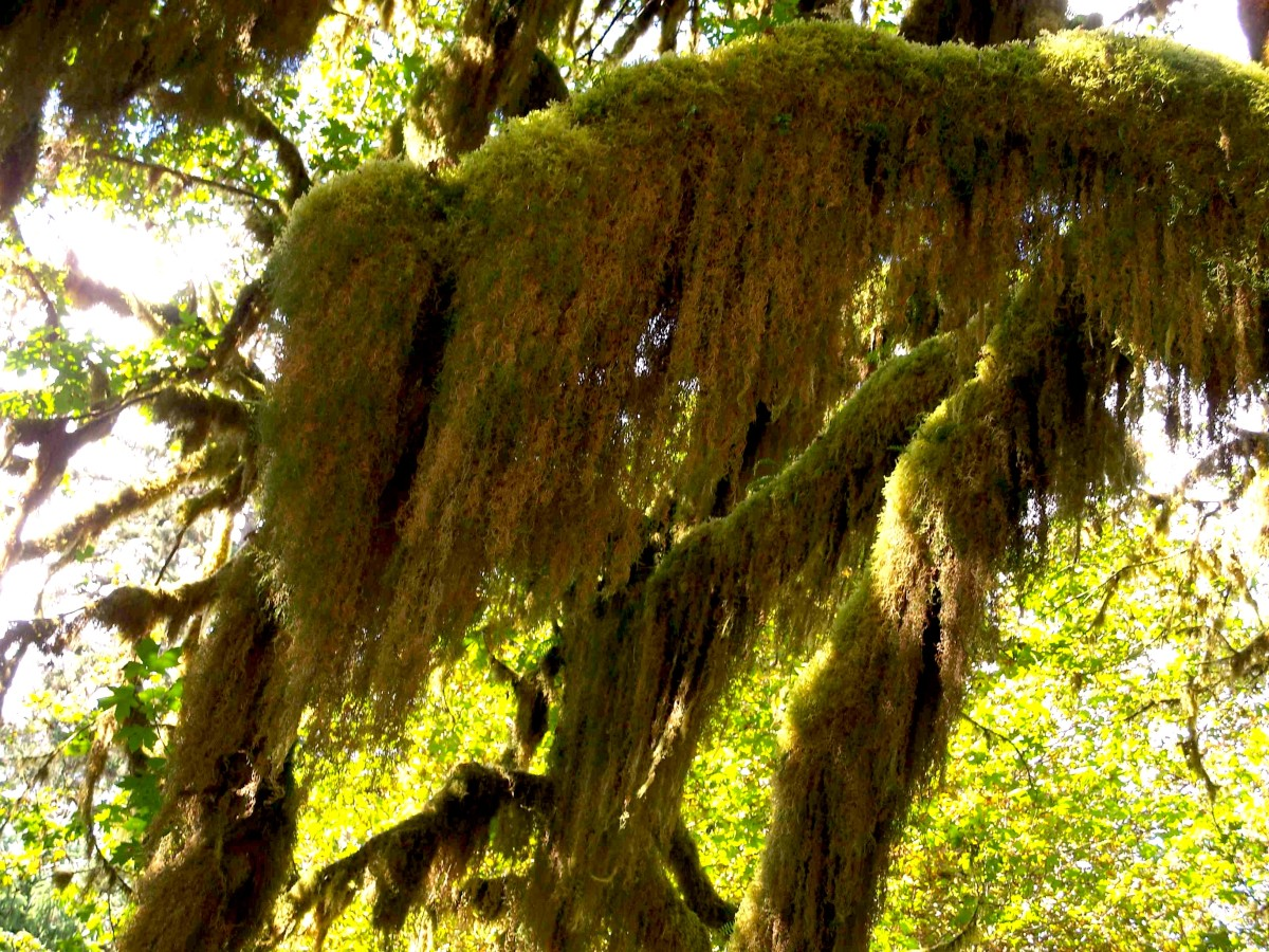 Moss hanging from trees in rain forest.