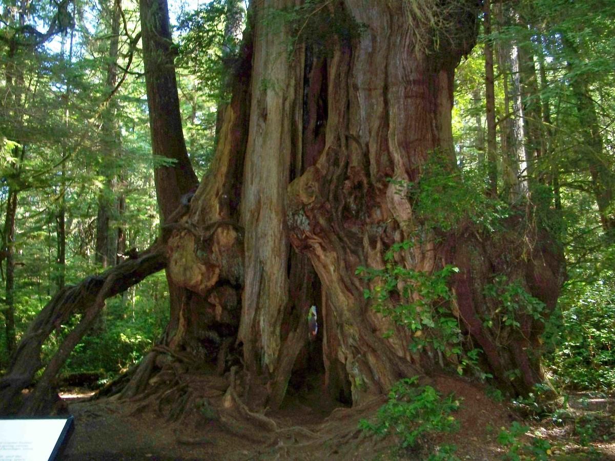 Big Cedar Olympic National Park Rain forest.