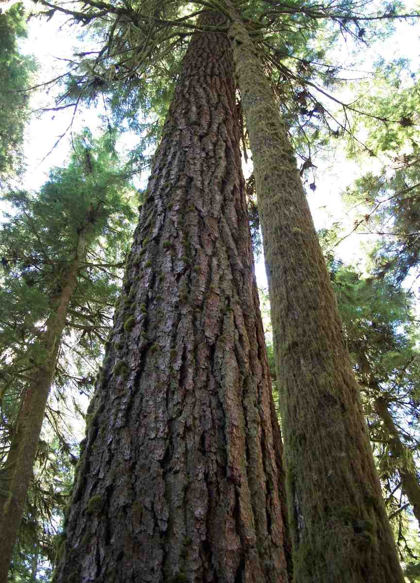 Tall trees of Olympic National Park.