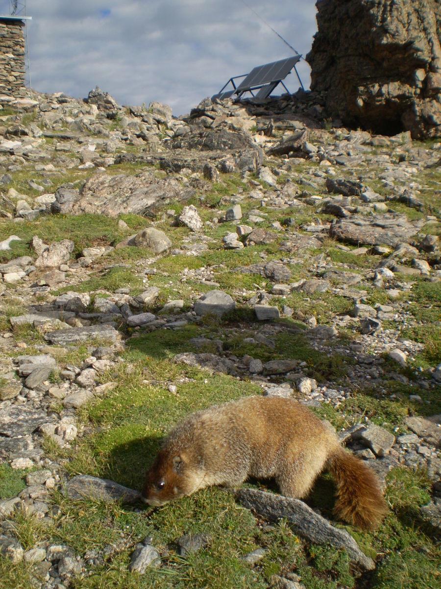 Yellow-bellied marmot on Twin Sisters Peaks.
