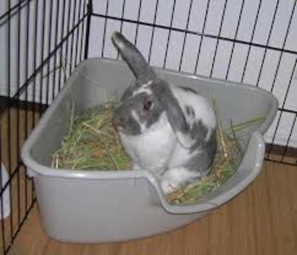 Litter Box Train a Rabbit
