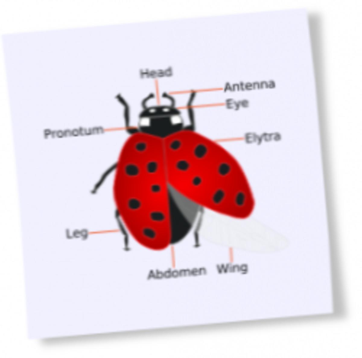 ladybug, diagram of a ladybug