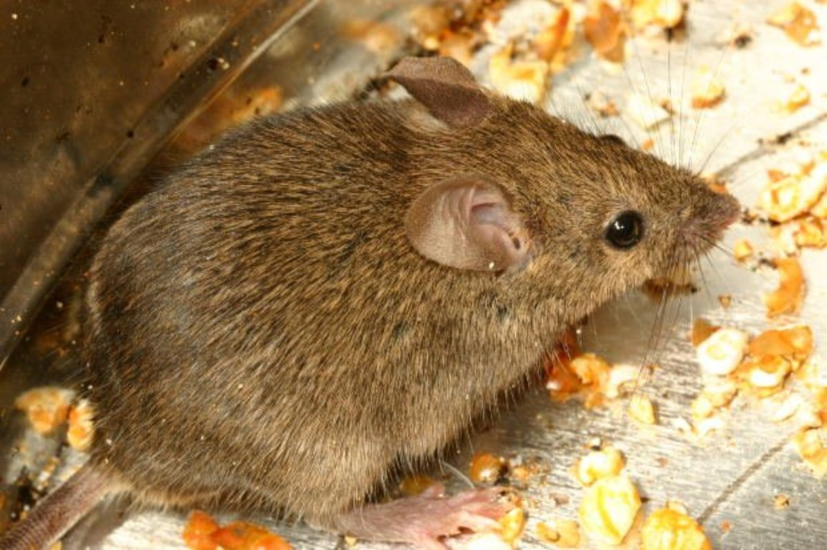 One mouse can turn into a big rodent problem.