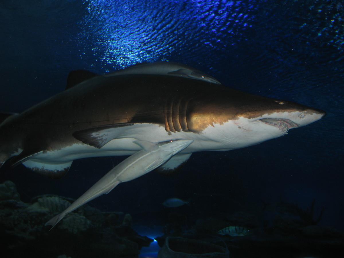Shark in KLCC Aquaria.