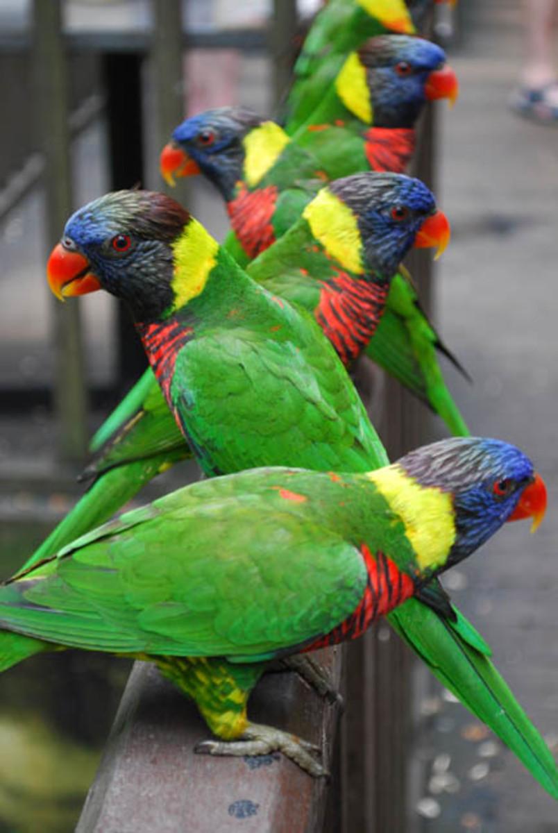 Rainbow lorikeets in the Kuala Lumpur Bird Park.